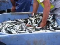 Cabaz de sardinhas